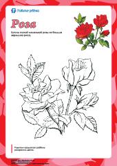 Раскраска «Роза» – Развитие ребенка