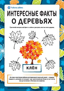 Интересные факты о деревьях: клён