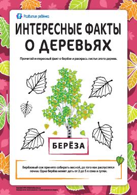 Интересные факты о деревьях: берёза