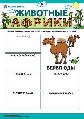 Рассказываем о верблюдах